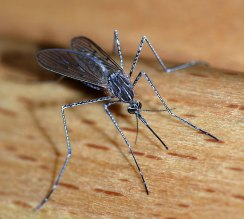 How Rain Might Be Keeping Mosquitoes at Bay