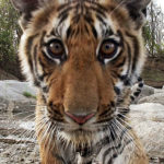 'Tiger  – Spy in the Jungle' Concludes Tonight