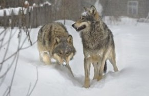 The Wolves of Chernobyl