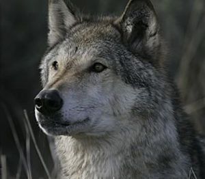 Wisconsin's Wolves