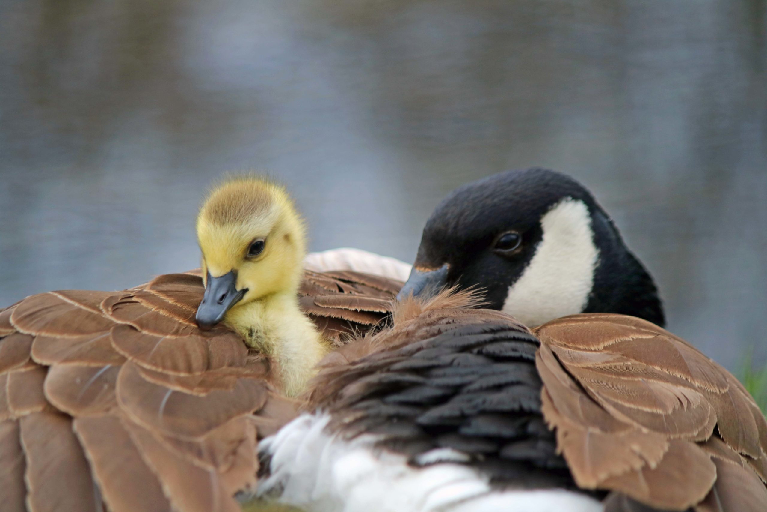 Mother goose and a gossling