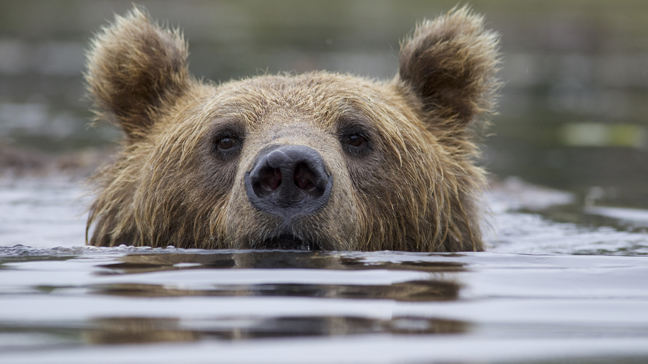 A bear stares at the camera from the river.