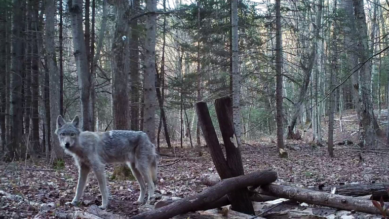 Wolf in profile from still of trail cam