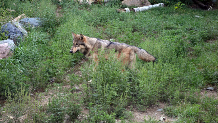 A captive wolf stands in a forest clearing.