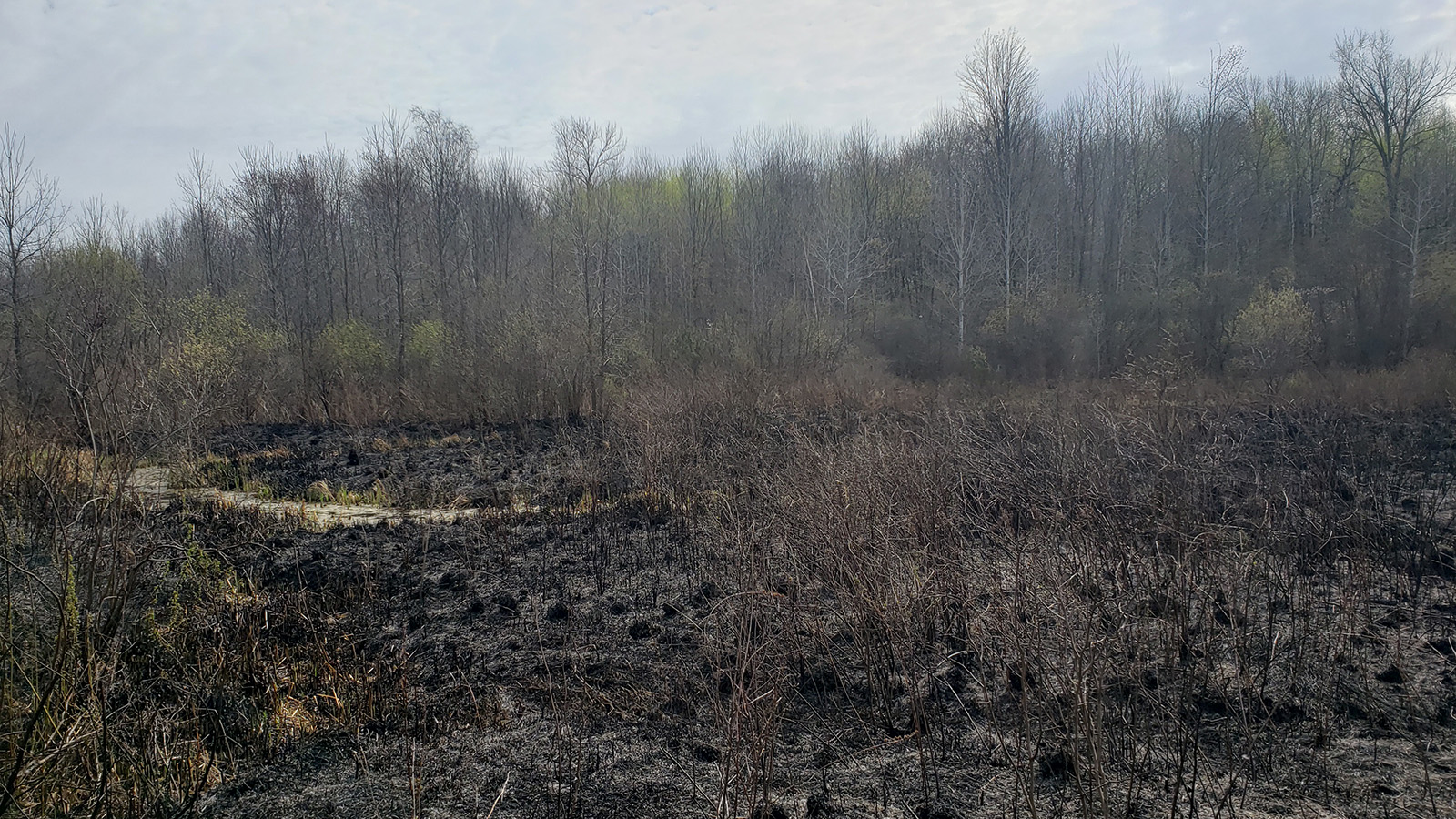 Scorched vegetation from a prescribed burn in front of unburned trees