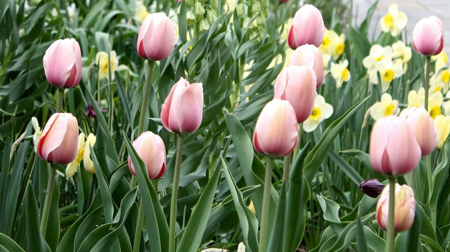 pink tulips in a garden setting
