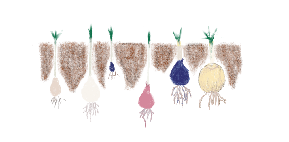 colored pencil drawing of spring bulbs below the ground illustrating depth to plant them