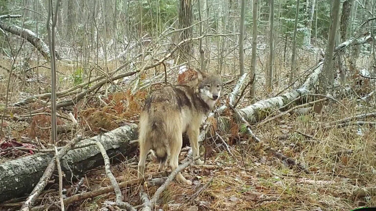 A wolf stands in forest undergrowth with light snow covering.