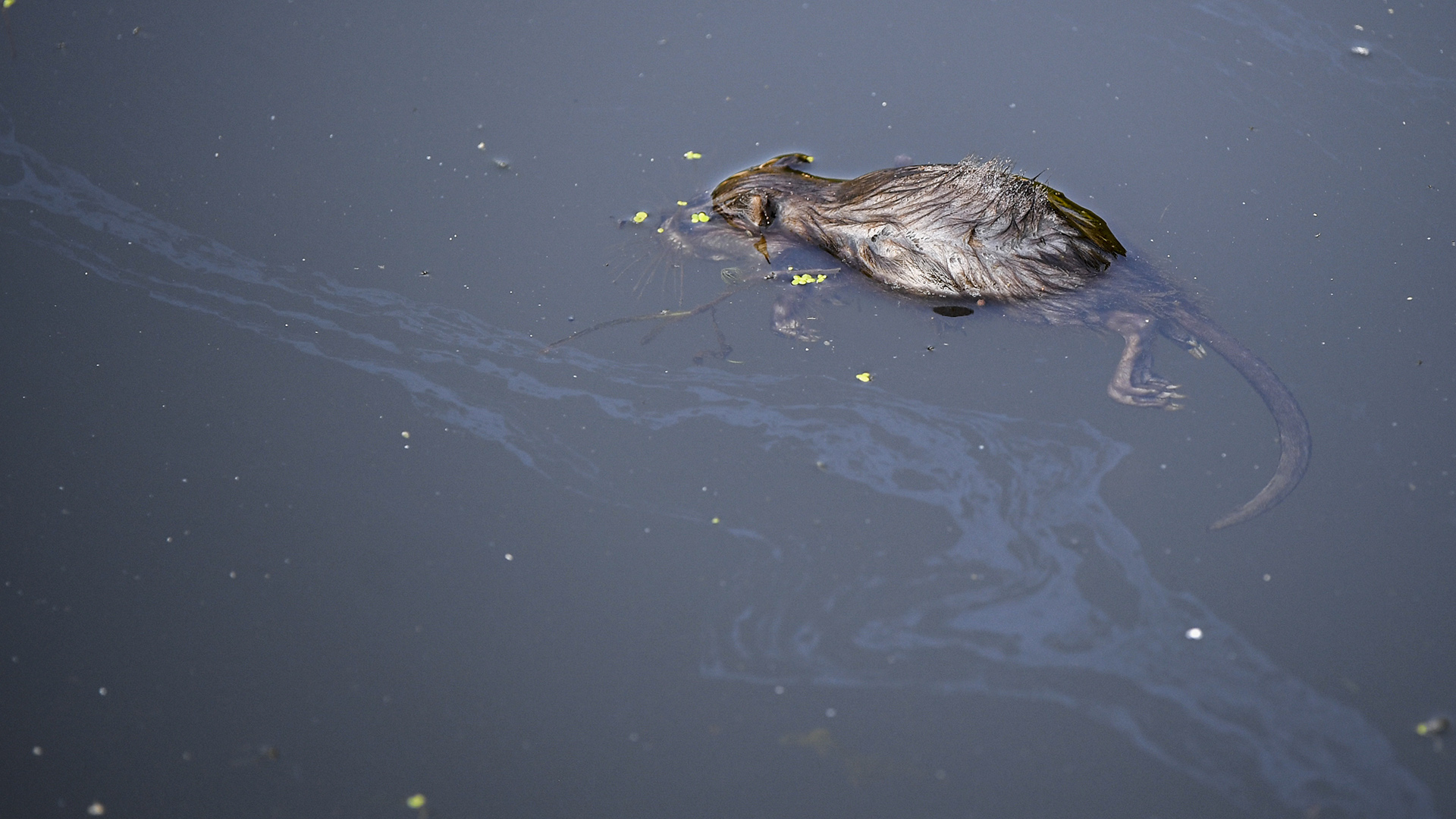 A dead rodent float in water topped by an oily sheen.